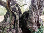 Ancient Trunks 3